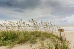 Avena del mare sulla duna Fotografie Stock Libere da Diritti