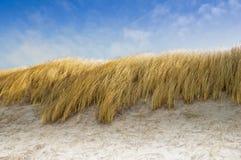 Avena della spiaggia come protezione della duna Fotografia Stock