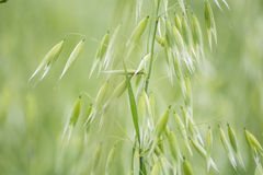 Avena gräsplanfält Havrecloseup Royaltyfria Bilder