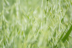 Avena green field Stock Image