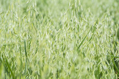 Avena green field Royalty Free Stock Photo