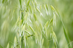 Avena green field Stock Images