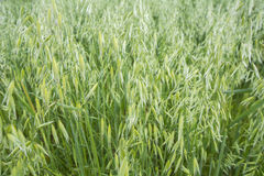 Avena green field Royalty Free Stock Photos