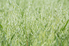 Avena green field Royalty Free Stock Images