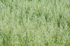 Avena green field Royalty Free Stock Photography