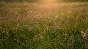 Avena salvaje agradable en viento en la luz de la puesta del sol metrajes