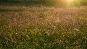 Avena salvaje en viento en la luz de la puesta del sol almacen de video