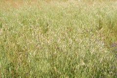 Avena sativa, Allergies Plants, spring allergies stock images