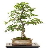 Avenbok från Corea som bonsaiträd Royaltyfria Bilder