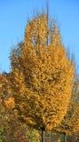 Avenbok i gul höstlövverk Arkivfoto