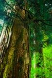 Avenida antiga do cedro, Hakone, Japão Fotos de Stock Royalty Free
