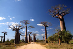 avenida baobab de Obrazy Royalty Free