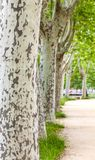 A avenida com árvores do sicômoro foto de stock