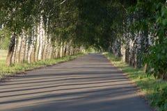 Avenida con los árboles de abedul jovenes el verano Fotografía de archivo