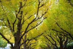 A avenida da rua da nogueira-do-Japão em Meiji Jingu Gaien Park fotografia de stock