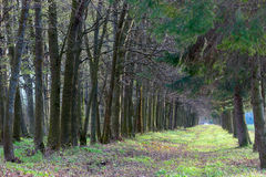 Avenida de árboles Fotografía de archivo libre de regalías