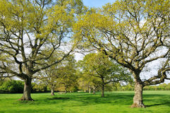 Avenida de árvores de carvalho Foto de Stock Royalty Free
