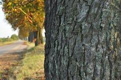 Avenida de árvores de castanha Castanhas na estrada Caminhada do outono abaixo da rua Fotos de Stock Royalty Free