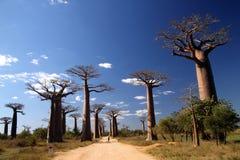 Avenida de Baobab royalty free stock images