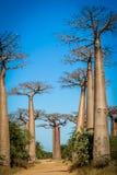 Avenida de Baobab Stock Image