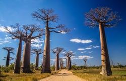 Avenida de Baobab Royalty Free Stock Photo