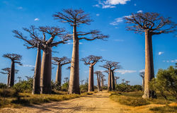 Avenida de Baobab Stock Photography