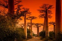 Avenida de Baobab at sunset Stock Image