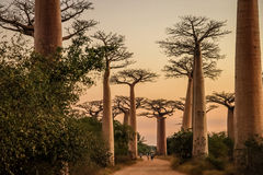 Avenida de Baobab at sunset Stock Photo