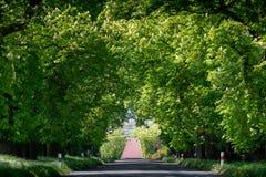 Avenida de florescência da castanha fotos de stock royalty free
