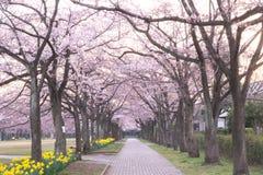 Avenida de la flor de cerezo en el parque de Takarano en el amanecer en Tokio imagen de archivo