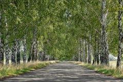 Avenida de los árboles de abedul en colores del otoño Imagenes de archivo