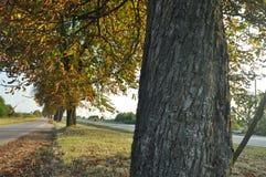 Avenida de los árboles de castaña Castañas en el camino Otoño Fotografía de archivo libre de regalías