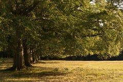 Avenida de los árboles de roble viejos en el último del sol del verano Imagen de archivo libre de regalías