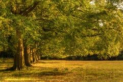 Avenida de los árboles de roble viejos en el último del sol del verano Foto de archivo libre de regalías