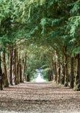 Avenida de los árboles del tejo Imagen de archivo libre de regalías
