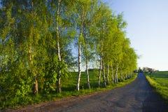 Avenida del árbol de abedul Foto de archivo libre de regalías