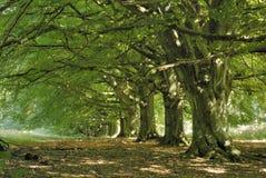 Avenida del árbol de haya Imagen de archivo libre de regalías