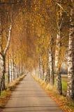 Avenida del abedul en otoño Imagenes de archivo