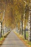 Avenida del abedul en otoño Imagen de archivo libre de regalías