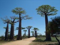 Avenida del baobab Foto de archivo libre de regalías