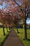 Avenida del cerezo Fotografía de archivo