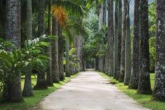 Avenida del jardín botánico de las palmas reales Foto de archivo libre de regalías
