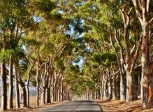 Avenida do eucalipto imagens de stock