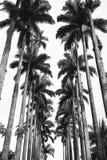 Avenida do jardim botânico de palmas reais fotos de stock