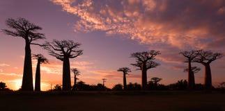 Avenida dos baobabs, Madagáscar Imagens de Stock Royalty Free