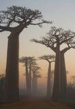Avenida dos baobabs no alvorecer na opinião geral da névoa madagascar foto de stock royalty free