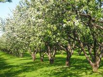 Avenida en jardín de la manzana en flor Fotos de archivo libres de regalías
