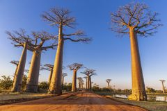 A avenida famosa dos Baobabs em Madagáscar fotos de stock