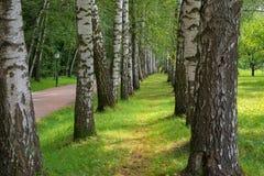 Avenida hermosa de los árboles de abedul en caída temprana Foto de archivo libre de regalías