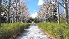 Avenida podada das árvores da nogueira-do-Japão filme